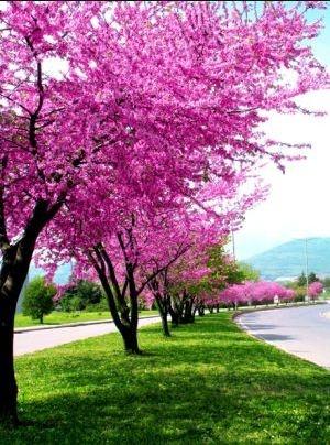 """Erguvanın güzelliğine duyulan hayranlığı edebiyatımızda da görüyoruz. Edip Cansever şiirlerinde İstanbul'u görkemli bir erguvan imparatorluğuna benzetir. Orhan Veli'ye göre insanı deli eden bir dünyadır. Necip Fazıl'a göre memleketin gerçek renkleridir. Ahmet Hamdi Tanpınar, eserlerinde bu narin ağaçtan, """"adına bayram yapılacak kadar nadide bir çiçektir erguvan'' diye bahseder. Her kalemin tanımı farklı olsa da o hep hayran olunandır."""