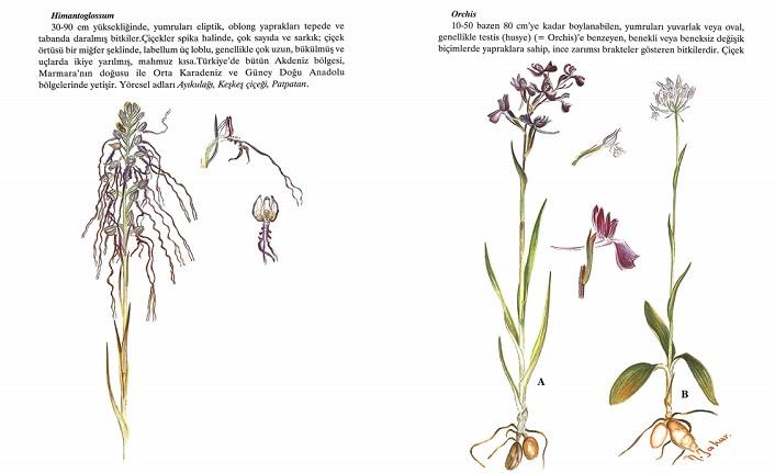 Renkli Türkiye Bitkileri Atlası ve Nebahat Yakar
