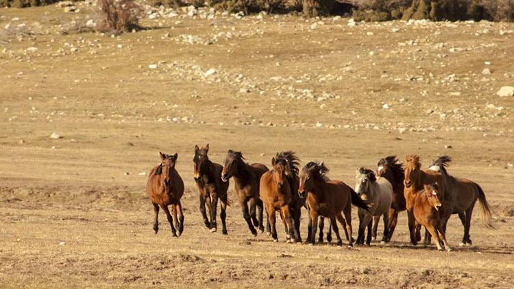 Eynif Ovası'nın Yılkı Atları Belgesele Konu Oldu