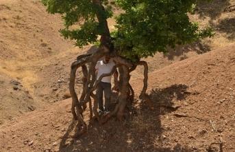 Ortaağaç Köyü'nün yürüyen ağaçları Yüzüklerin Efendisi'ni hatırlattı