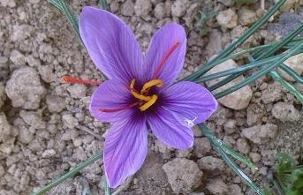 Ramazan-ı şerif safran çiçeğine benzer