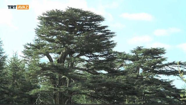 Lübnan'da umudu simgeleyen ağaç: Sedir (video)